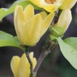 alexandra alphenaar magnolia bloeit 2013