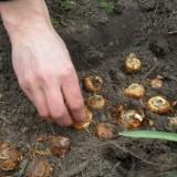 barry atsma legt gladiolenbollen in de bodem van buitengoed de gaard limburg