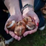 bloembollen in de handen van alexandra alphenaar, tulpen bij buitengoed de gaard foto antoine bongers