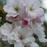 bloesem huub stapel boom buitengoed de gaard 2012 mei