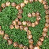 buitengoedse gladiolenbollen van boer jos sloot en dycke v.d. wal bij de gaard - kopie
