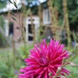 dahlia's geplant door mike weerts voor zijn dochter joes bloeien prachtig bij vierseizoenenhuisje buitengoed de gaard