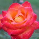 lone van roosendaal roos bij mammaloewagen -buitengoed de gaard
