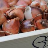 paarse tulpenbollen voor alexandra alphenaar