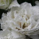 'snow chrystal' geplant door sander janson bij buitengoed de gaard orchard of fame