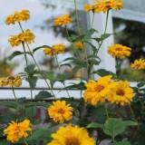 zonnebloemen voor rett syndroom door hadewych minis en tibor lukács bij vierseizoenenhuisje buitengoed de gaard