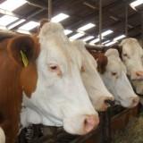 prachtige huwelijksvoltrekking ilona en martijn tussen de koeien bij ilona thuis