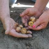 gladiolenbollen van boer jos sloot akkerbouw en bloembollen