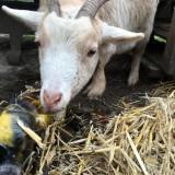 geit jetje eerste contact met lammetje wiesje meteen na geboorte bij buitengoed de gaard