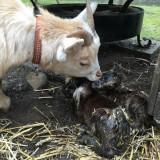 geit jetje net moeder geworden van lammetjes willem en wiesje 19-03-2016